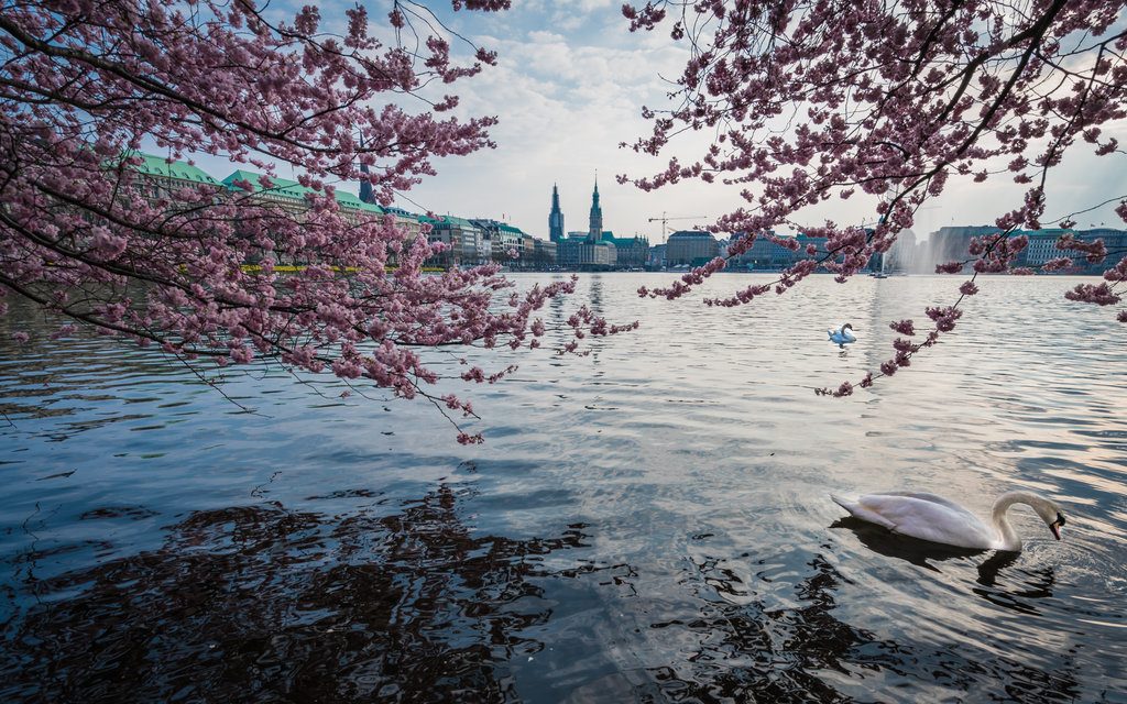 Japanese Cherry trees were planted on the shores of the Alster Lake in Hamburg to celebrate the country's culture