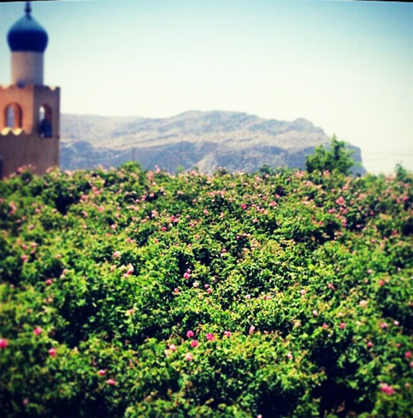 Wander through fields of Damask roses in Jabal Akhdar