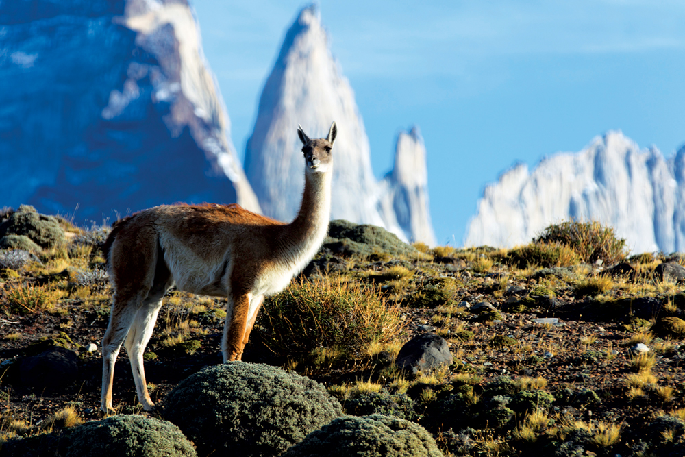 A guacano spotted in the Torres del Paine National Park