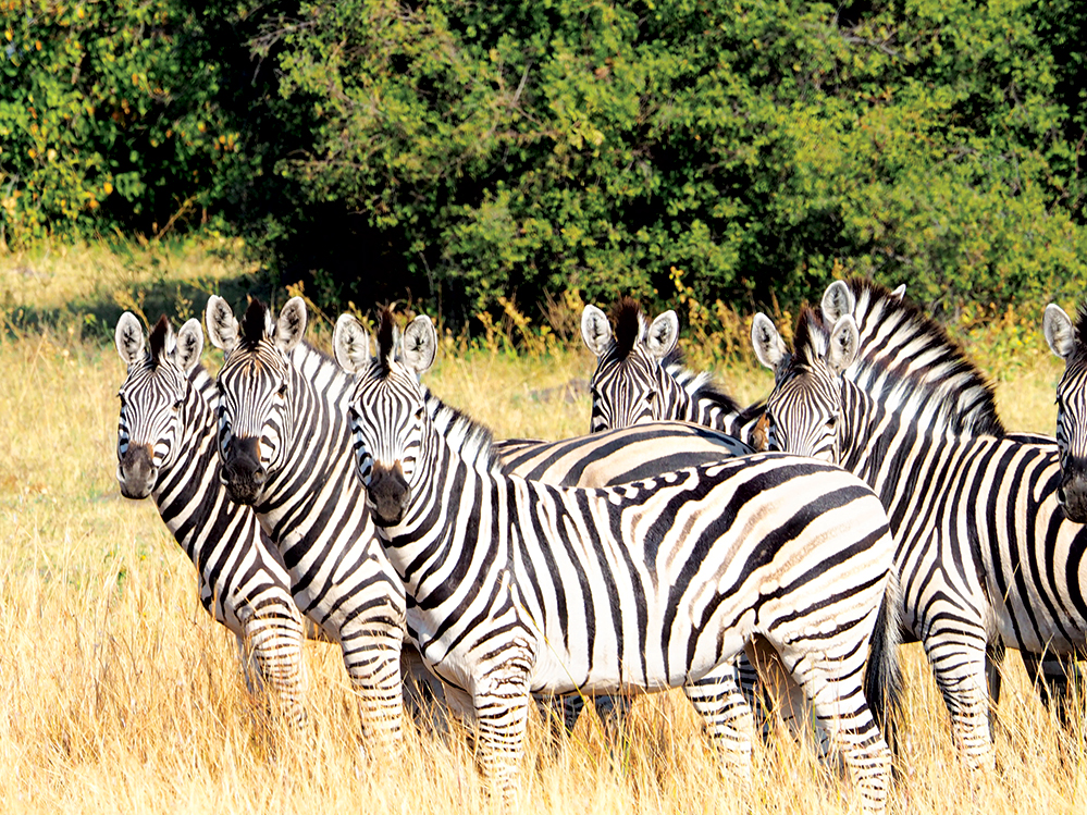 The wide range of species at Duma Tau includes zebra. Photo by Kee Foong