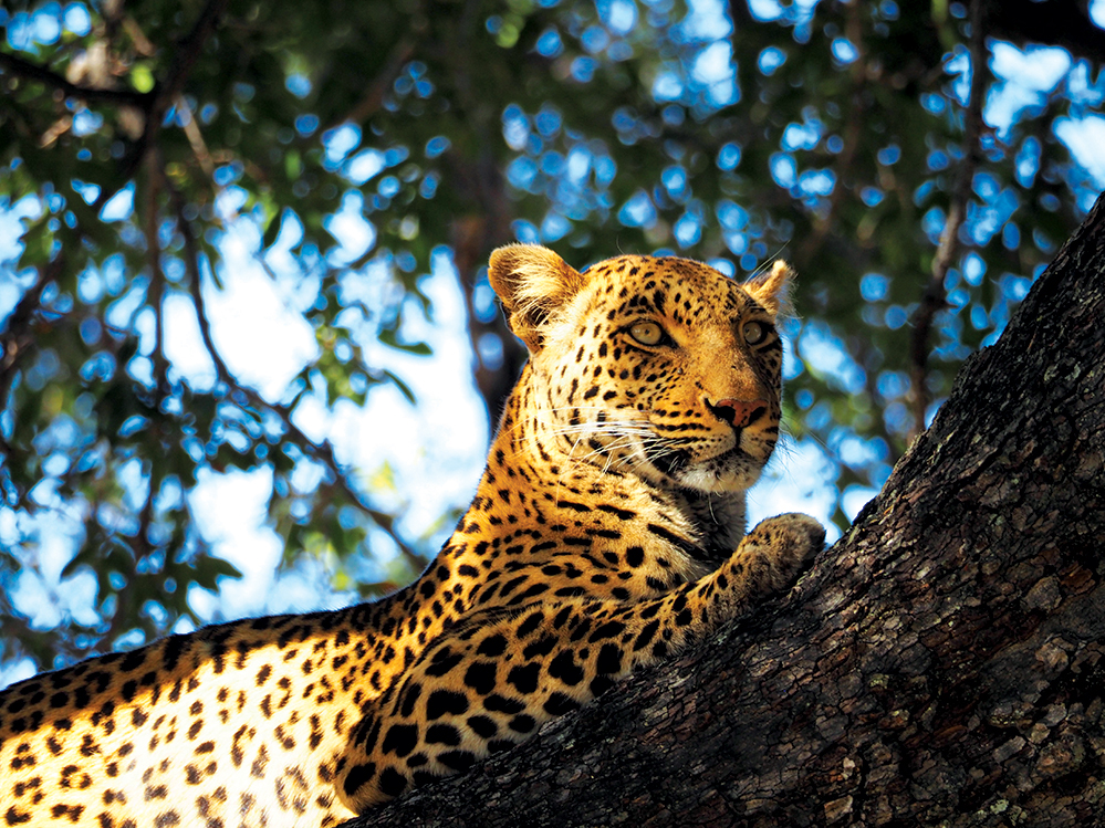 Leopard keeps watch at Vumbura Plains. Photo by Kee Foong