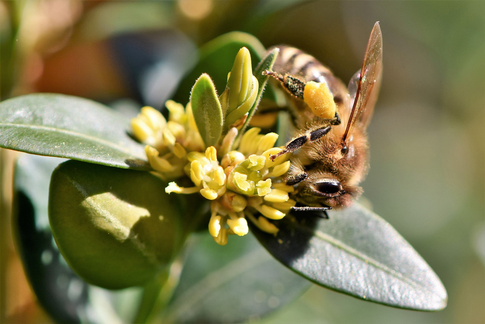 A honey bee collects pollen from a flower, which it will soon turn into honey
