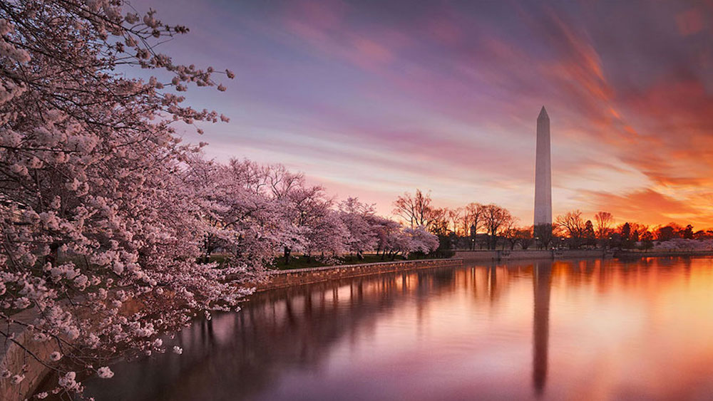 Washington DC's cherry blossom is celebrated every year with the nation's biggest spring festival