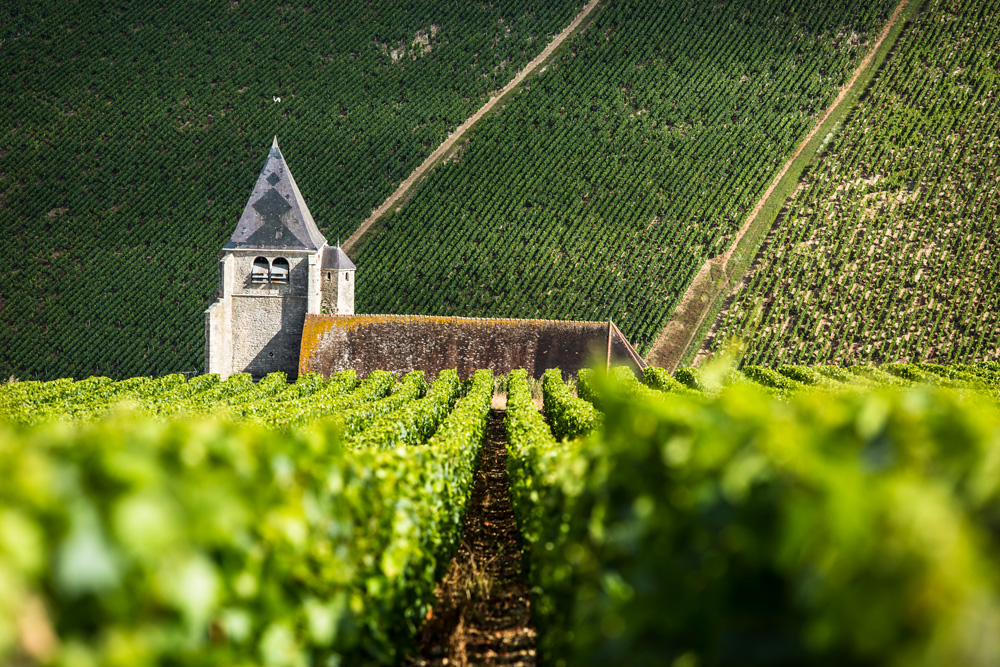 A vineyard in Chablis
