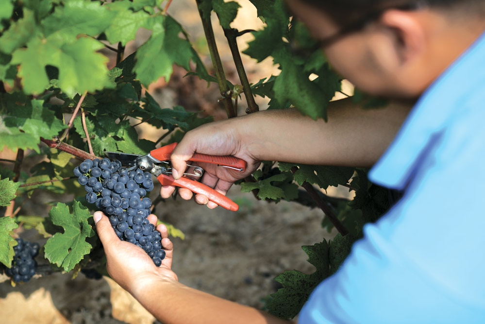 Harvest time at Grace Vineyard in Shanxi province, China, where soil conditions are similar to those in Bordeaux, making it ideal for winemaking