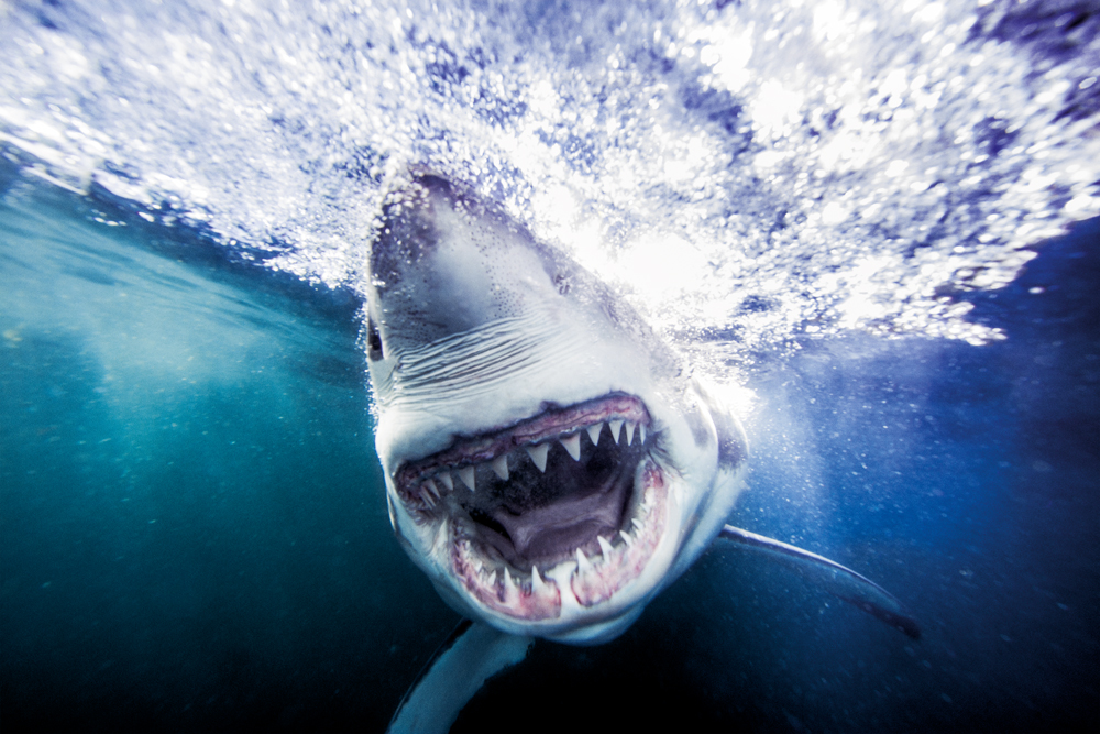 "Dramatic images conceal the reality about sharks: ""they want the fish"" (Credit: Michael Muller)"